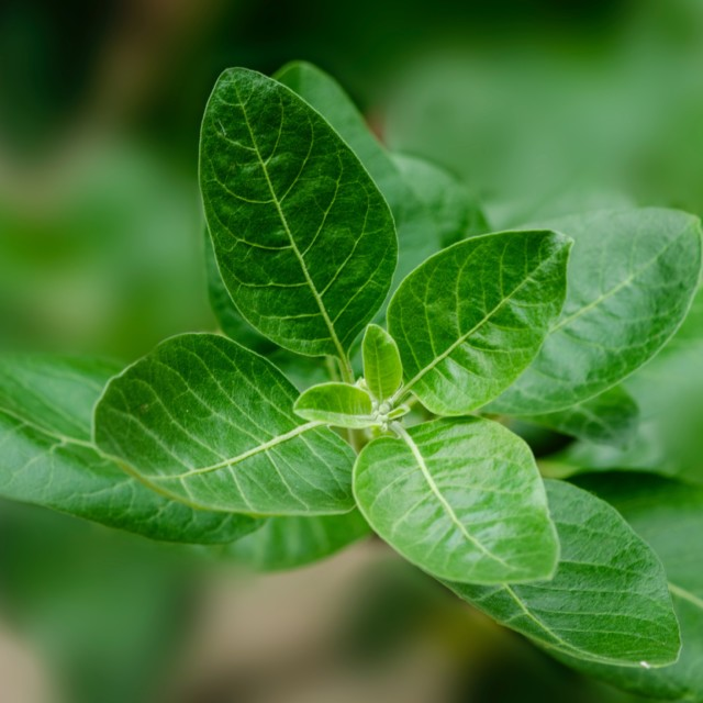 An Herb to Watch – Ashwagandha